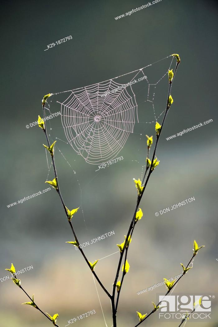 Imagen: Orb-weaver spider web in a birch sapling in early spring, Greater Sudbury, Ontario, Canada.