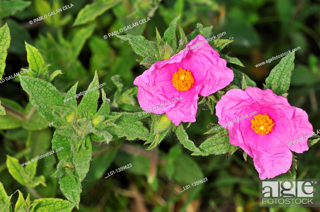 Stock Photo: Jara Cistus crispus.