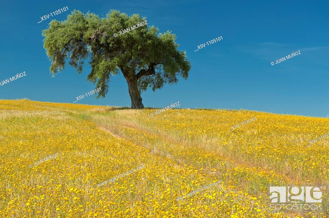 Stock Photo: Lone Holm Oak (Quercus ilex) in a field of yellow flowers, La Serena, Badajoz province, Extremadura, Spain.