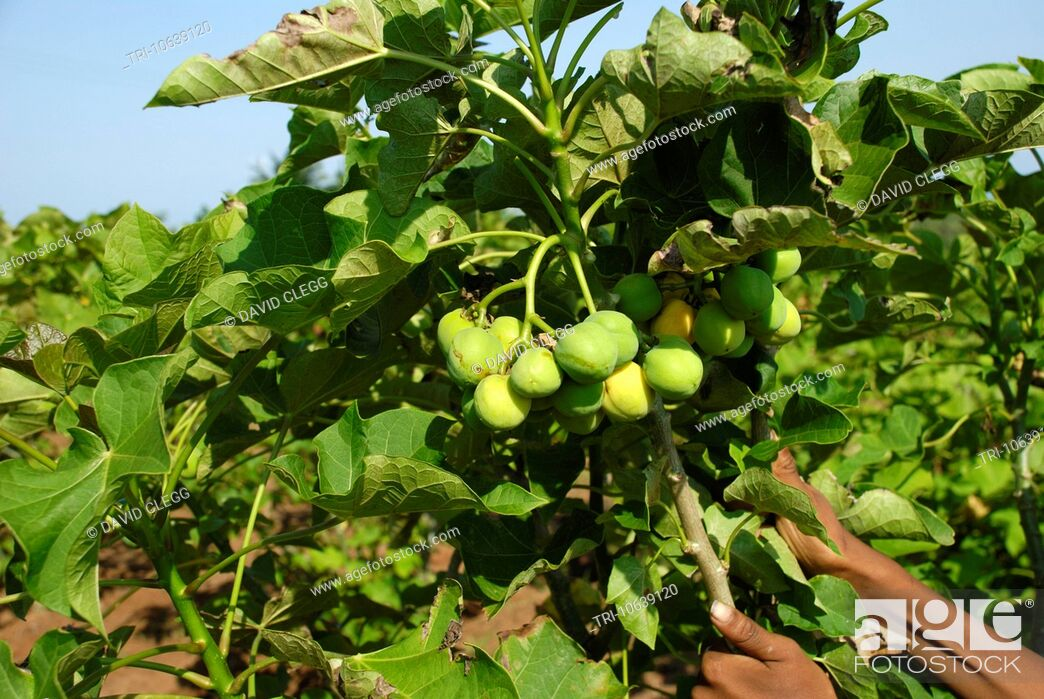 Imagen: Ripe seed pods on a jatropha curcas tree the dried seeds are used primarily for production of biodiesel fuel with other uses in quality paper production.