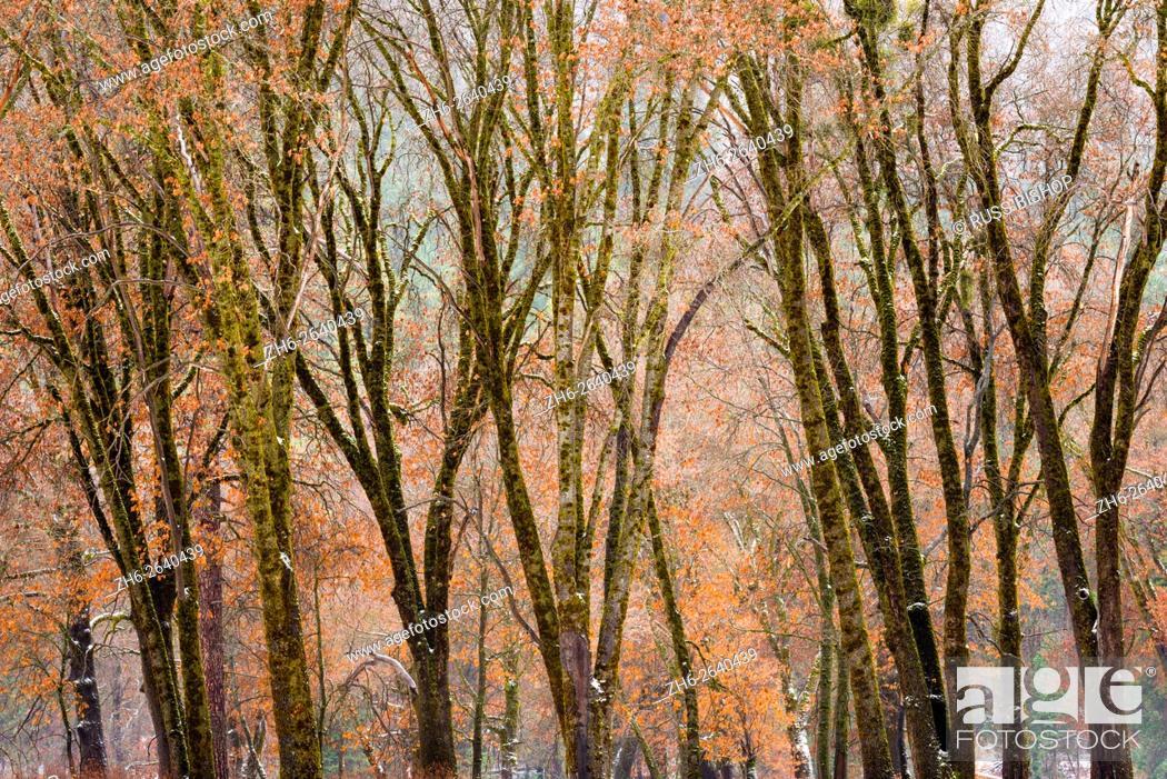 Imagen: Black oaks in winter, Yosemite Valley, Yosemite National Park, California.