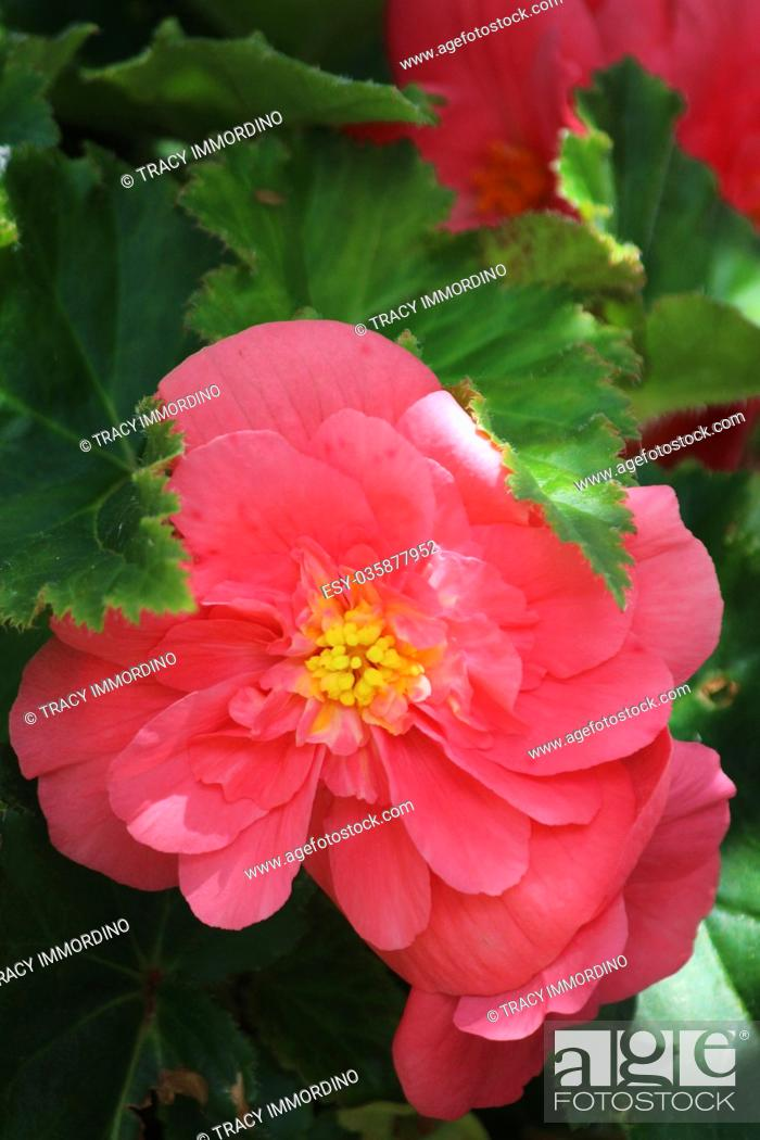 Stock Photo: Macro shot of a pink Begonia in full bloom surrounded by green leaves.