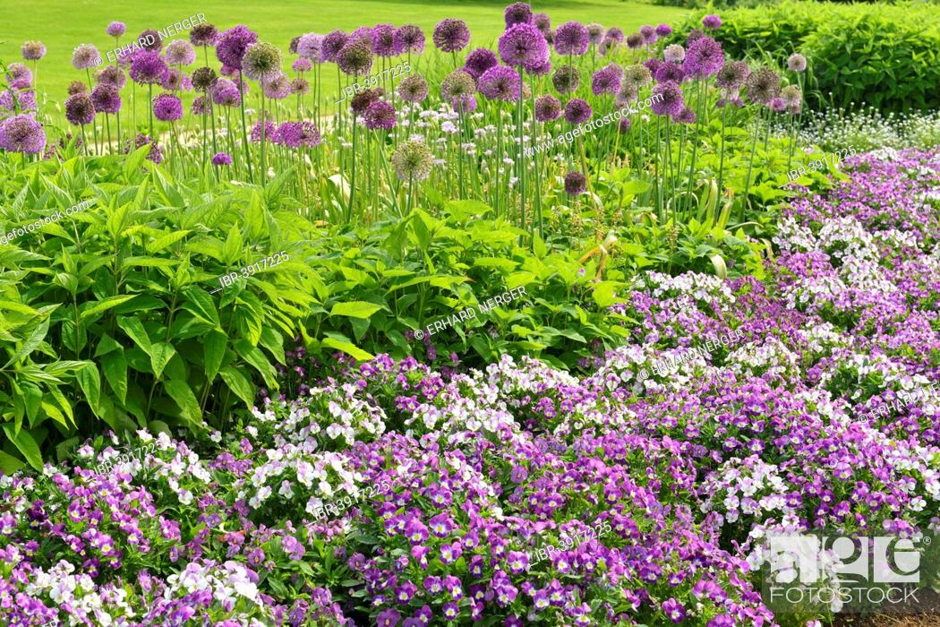 Stock Photo: Park of Gardens garden show, Giant Onion (Allium giganteum), Horned Pansy or Horned Violet, Bad Zwischenahn, Lower Saxony, Germany.