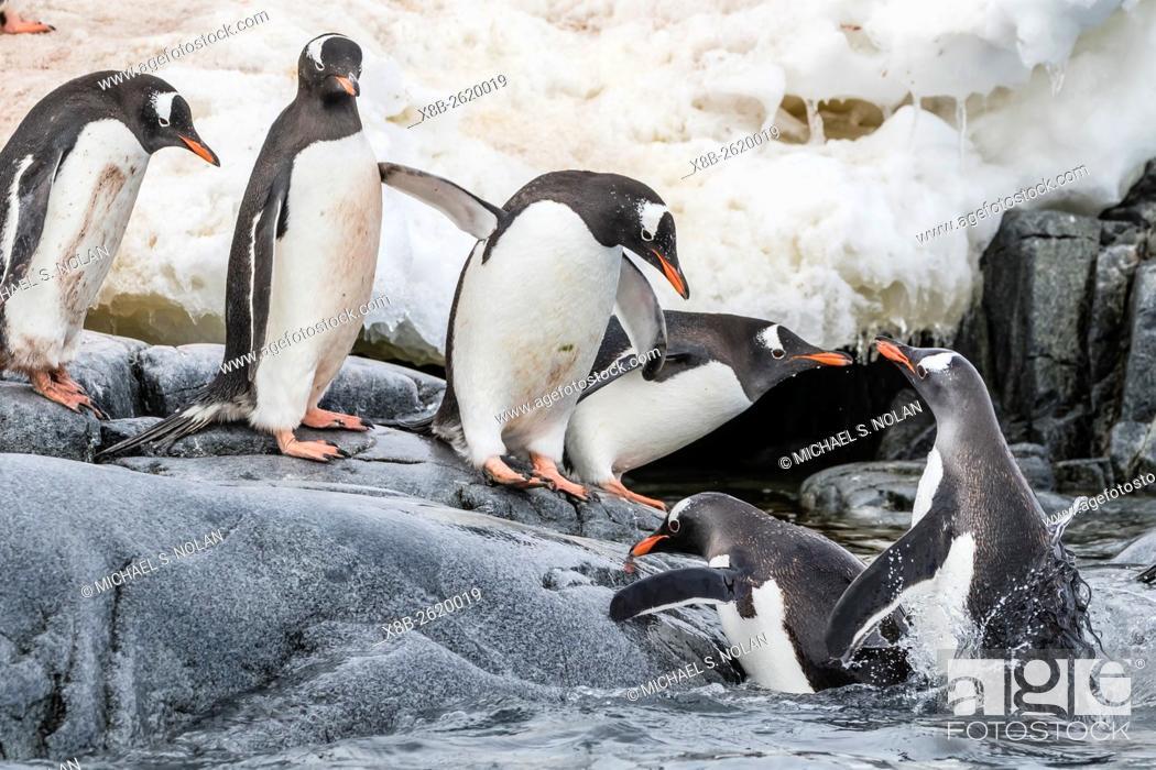 Imagen: Gentoo penguins, Pygoscelis papua, returning from the sea at Dorian Bay, Antarctica.