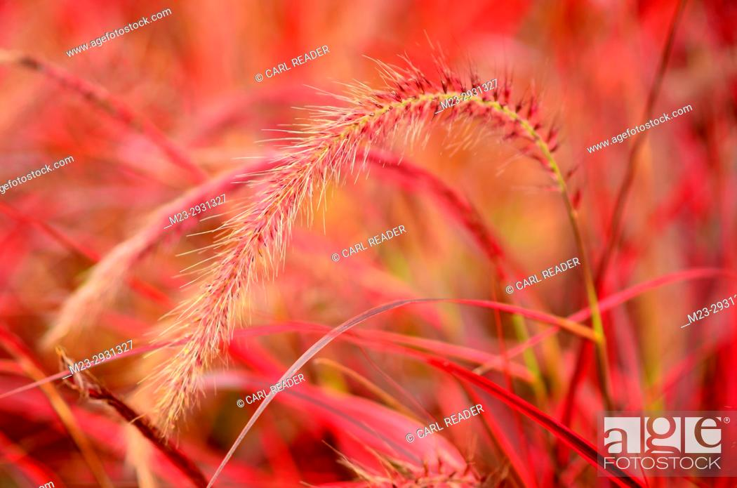 Stock Photo: Ornamental red grasses in soft focus brighten up a garden, Pennsylania, USA.