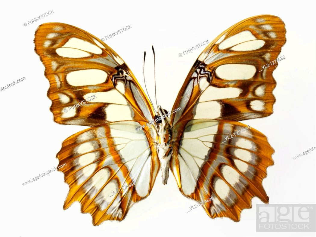 Stock Photo: Cethosia Lacewing Butterfly.