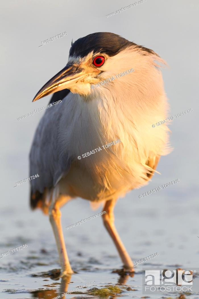 Stock Photo: Black-crowned Night-Heron, Nycticorax nycticorax, Majorca, Balearic Islands, Spain.