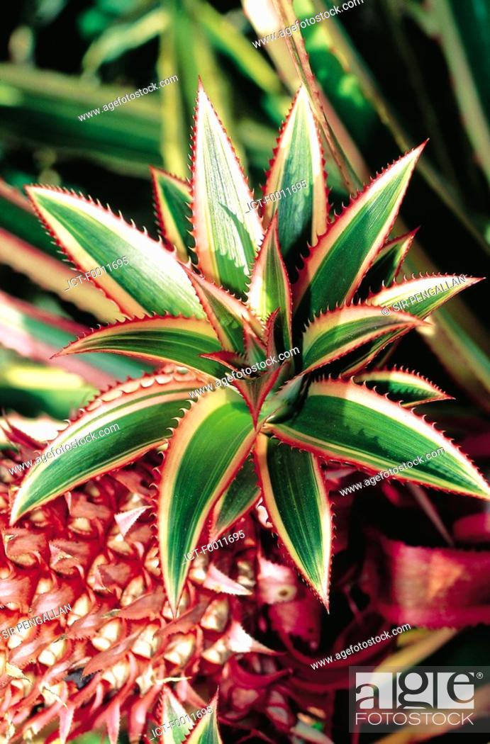 Stock Photo: Domenican Republic, pineapple close-up.