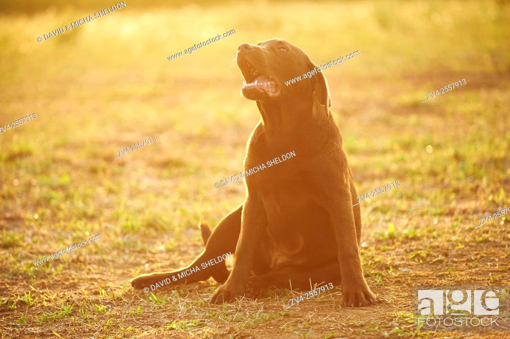 Stock Photo: Close-up of a Labrador Retriever youngster on a meadow in late summer.