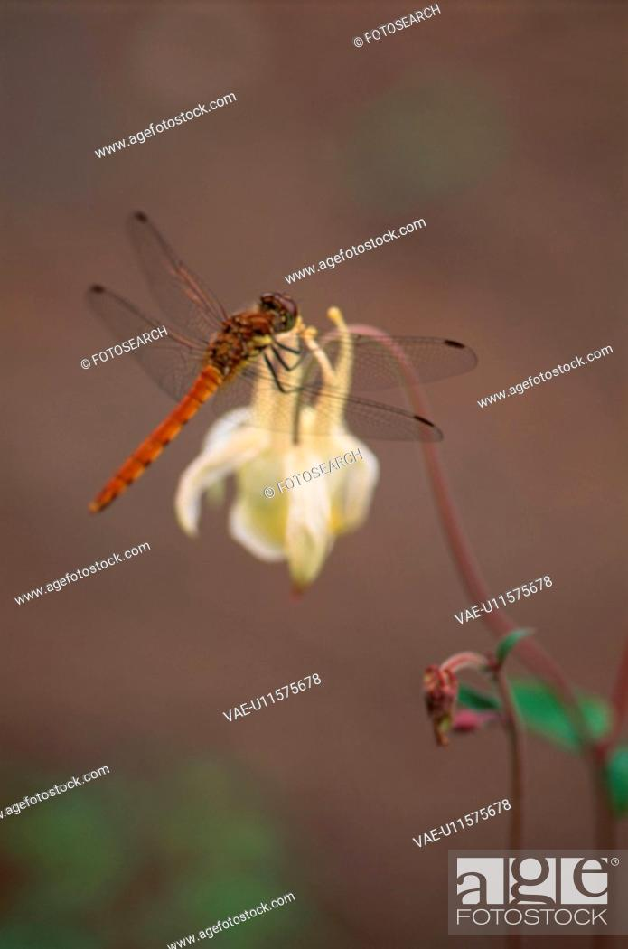 Stock Photo: Dragonfly On Flower.