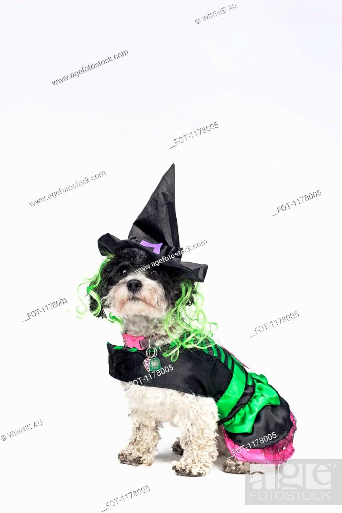 Stock Photo: A black and white dog wearing a witch's costume.