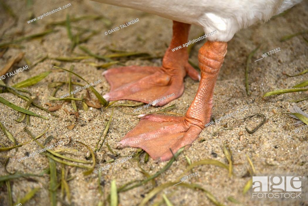 Stock Photo: Feet of a goose.