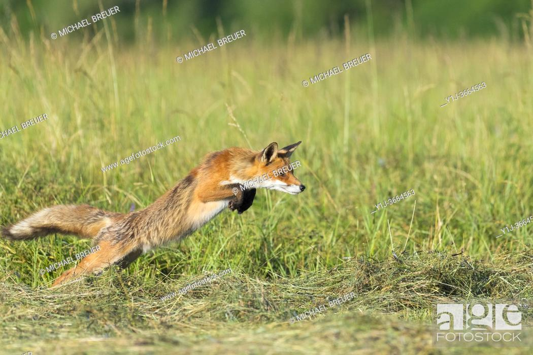 Stock Photo: Jumping red fox (Vulpes vulpes) on mowed meadow, Hesse, Germany, Europe.