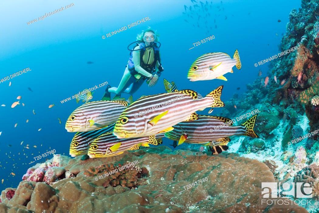 Stock Photo: Oriental Sweetlips and Diver, Plectorhinchus orientalis, Cocoa Corner, South Male Atoll, Maldives.