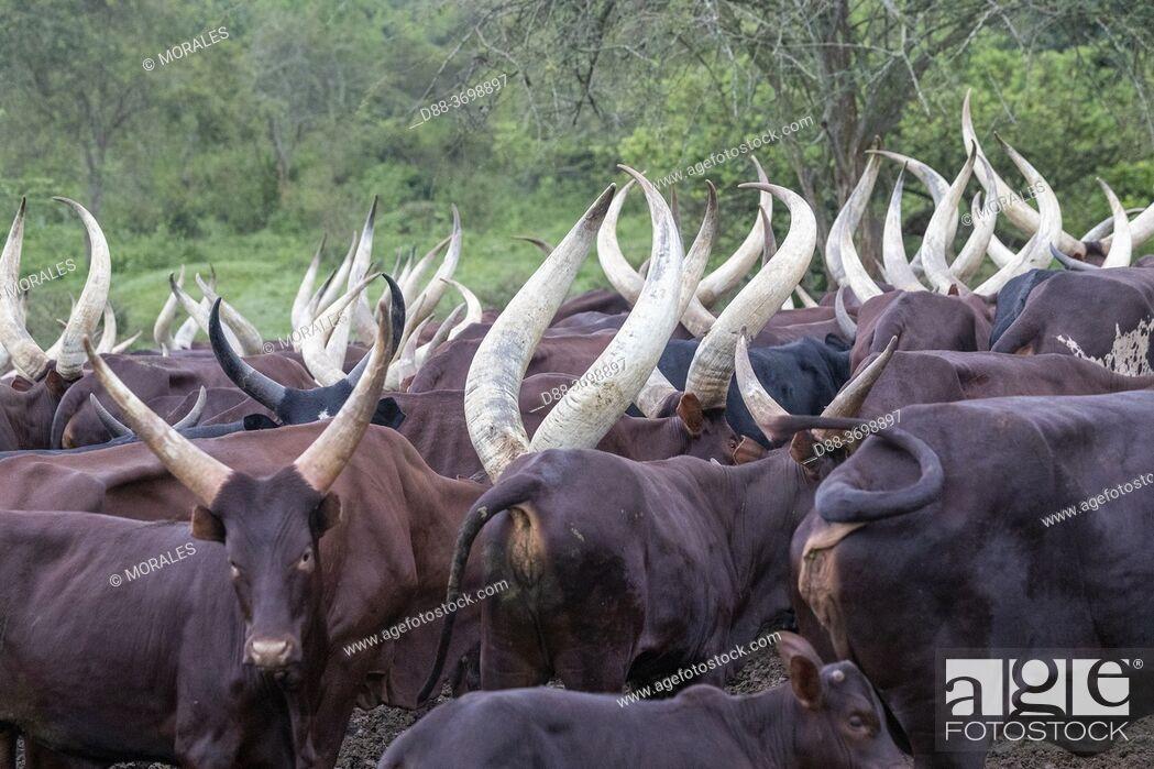 Photo de stock: Ankole-Watusi (Bos taurus primigenius) , Lake Mburo National Park, Uganda, Africa.