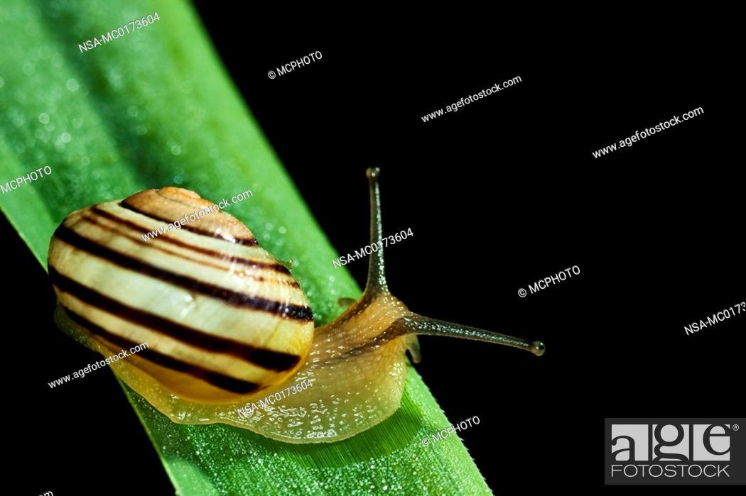 Stock Photo: Cepaea shell Cepaea.