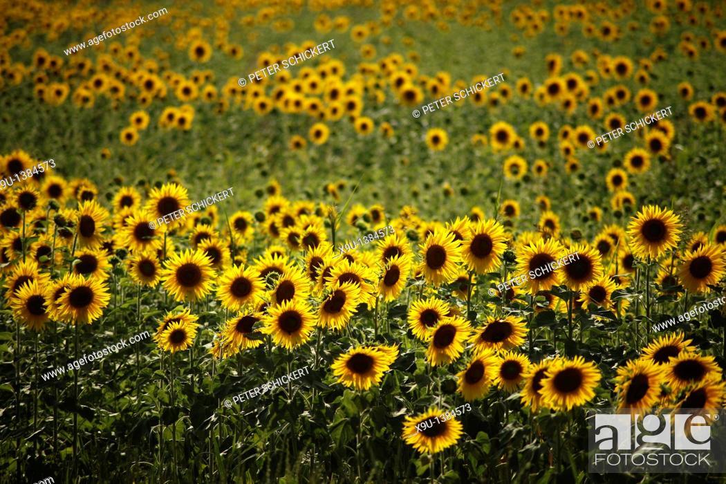 Stock Photo: sunflower field in the evening light near Avignon, Provence, France, Europe.