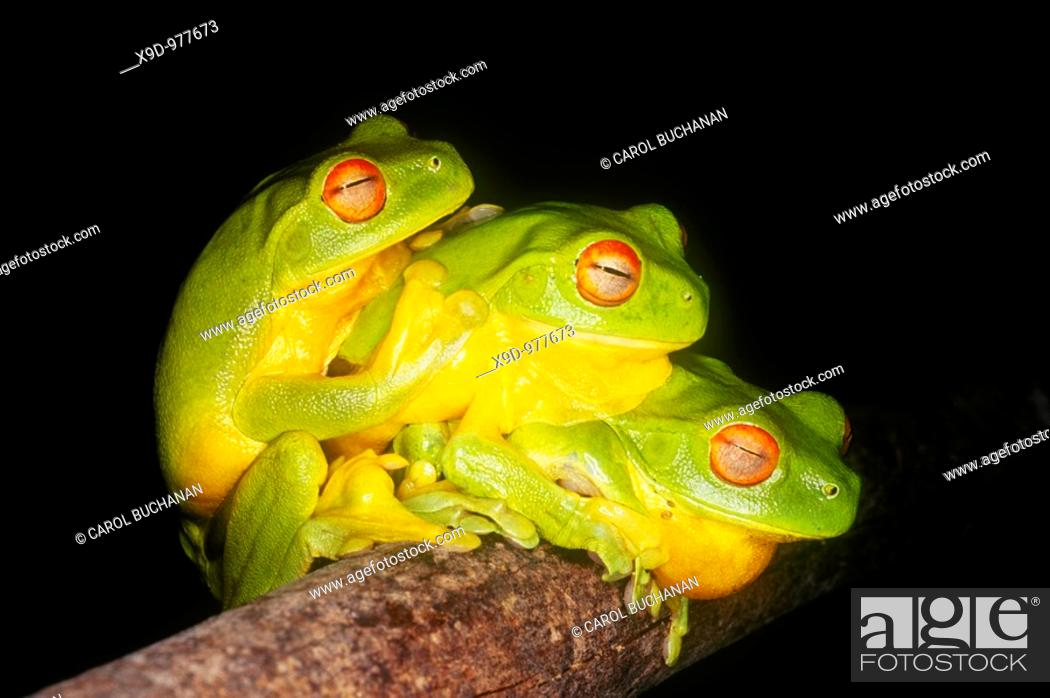 Stock Photo: Three Red Eyed Green Tree Frogs, Litoria chloris  Coffs Harbour, Australia  After heavy summer rains, these frogs gather together in the hope of finding a mate.
