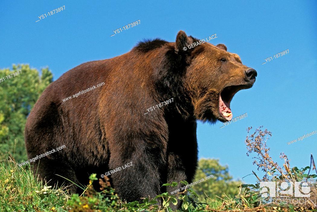 Stock Photo: Brown Bear, ursus arctos, Adult calling.