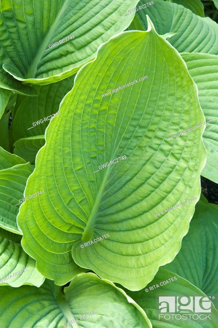 Hosta Honeybells Stock Photo Picture And Rights Managed Image