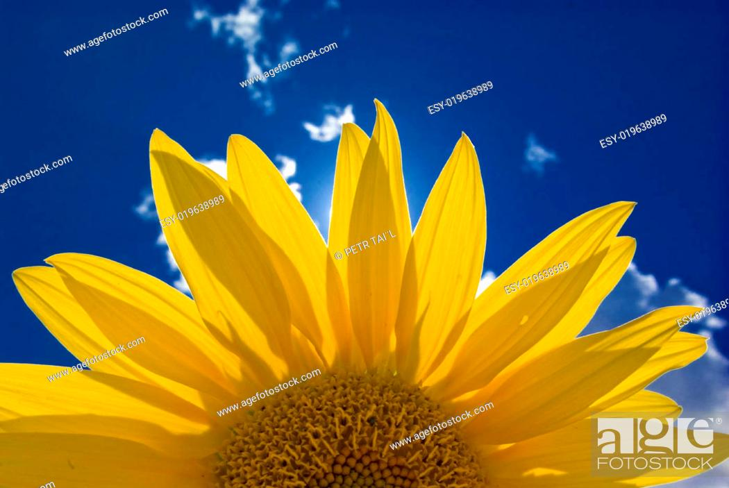 Stock Photo: sunflower.