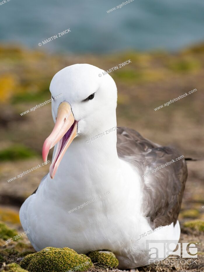 Stock Photo: Black-browed Albatross ( Thalassarche melanophris ) or Mollymawk. South America, Falkland Islands, January.