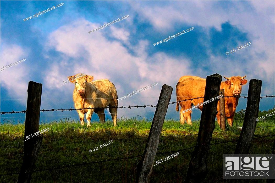 Stock Photo: Cattle land near Maurs, Cantal, Auvergne, France.