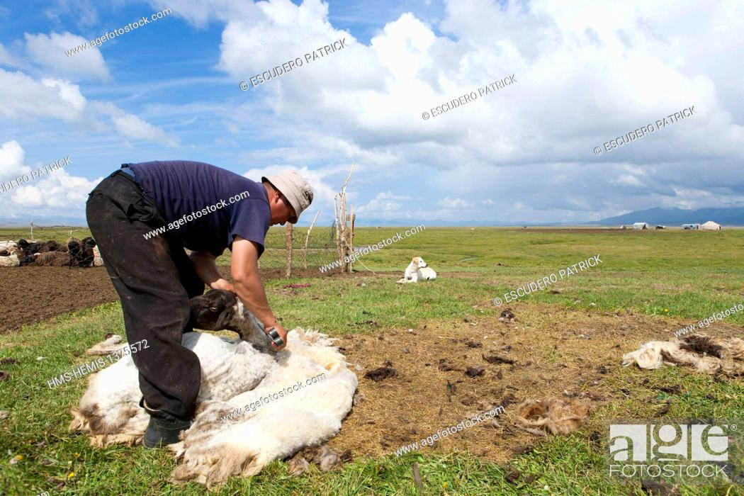 Stock Photo: Kyrgyzstan, Naryn Province, shepperd shearing a sheep on mountain pastures at Song-Kol lake state zoological reserve.