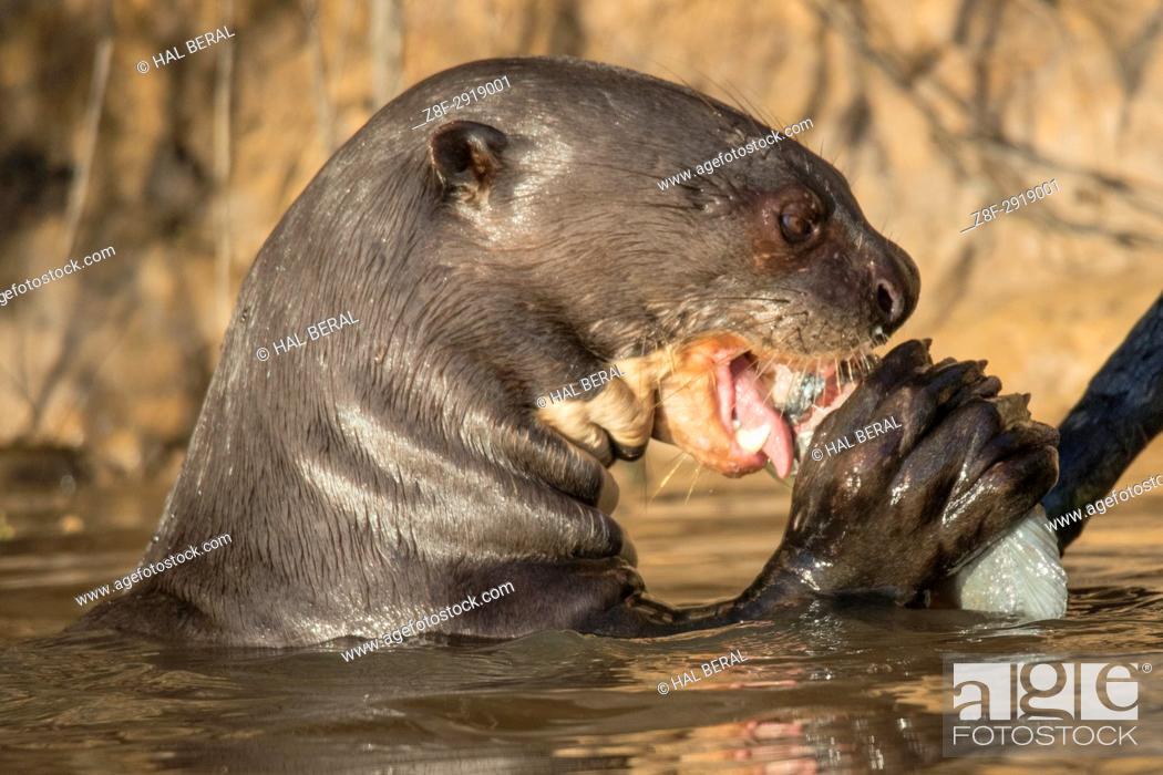 Photo de stock: Giant River Otter eating a fish close-up (Pteronura brasiliensis) Pantanal, Brazil.