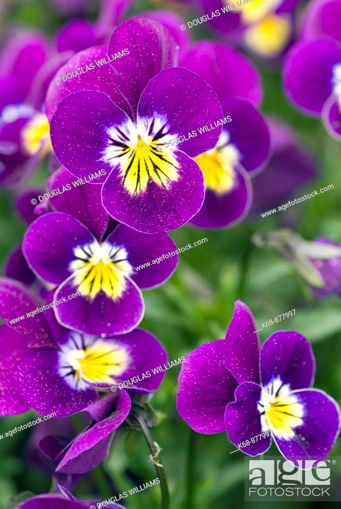 Stock Photo: pansies in garden.
