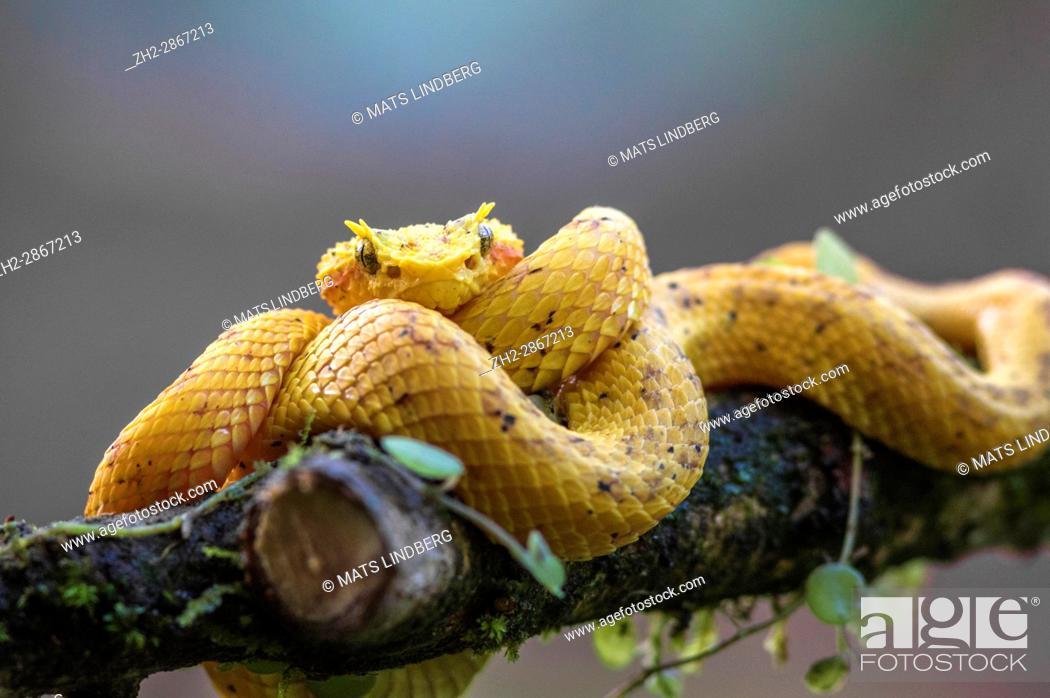 Stock Photo: Eyelash viper, Bothriechis schlegelii lying on a tree bransch, looking in to the camera at Laguna del Lagarto, Boca Tapada, San Carlos, Costa Rica.