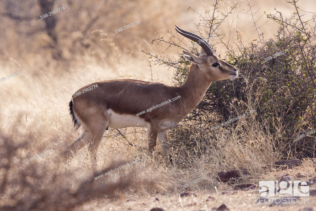 Stock Photo: Asia, India, Rajasthan, Ranthambore National Park, Chinkara (Gazella bennettii.