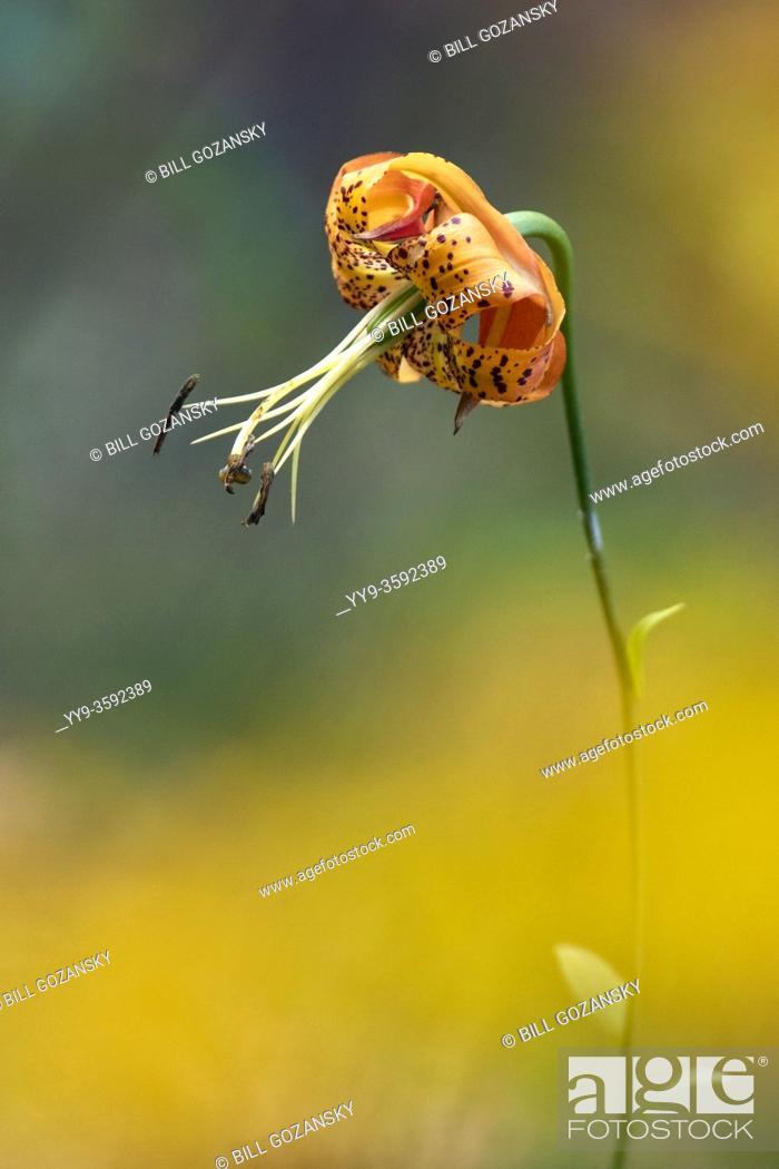 Stock Photo: Turk's Cap Lily (Lilium superbum) - DuPont State Recreational Forest, near Hendersonville, North Carolina, USA.