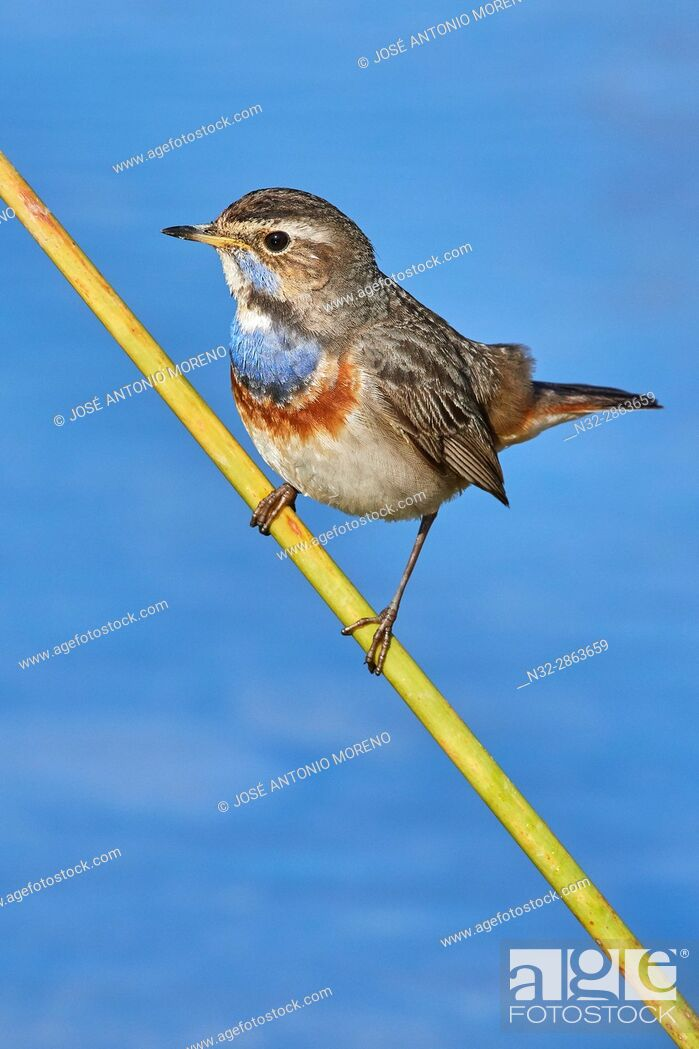 Stock Photo: Bluethroat (Luscinia svecica), Pechiazul, Malaga, Andalusia, Spain.