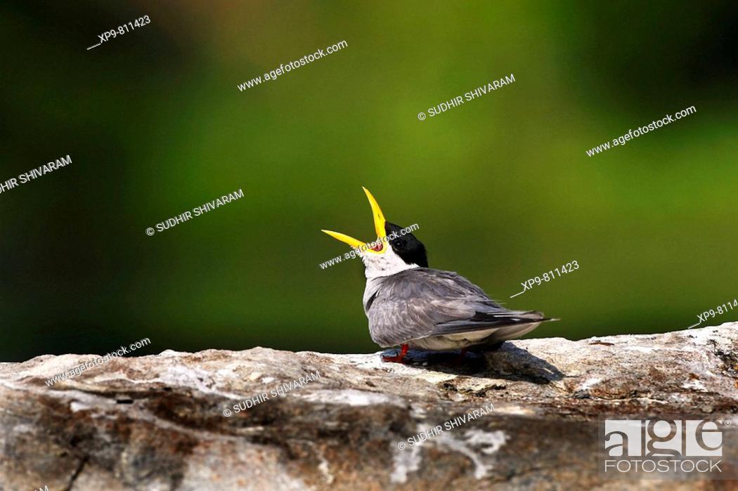 Stock Photo: River Tern. Ranganthittu Bird Sanctuary, Mysore, Karnataka, India.