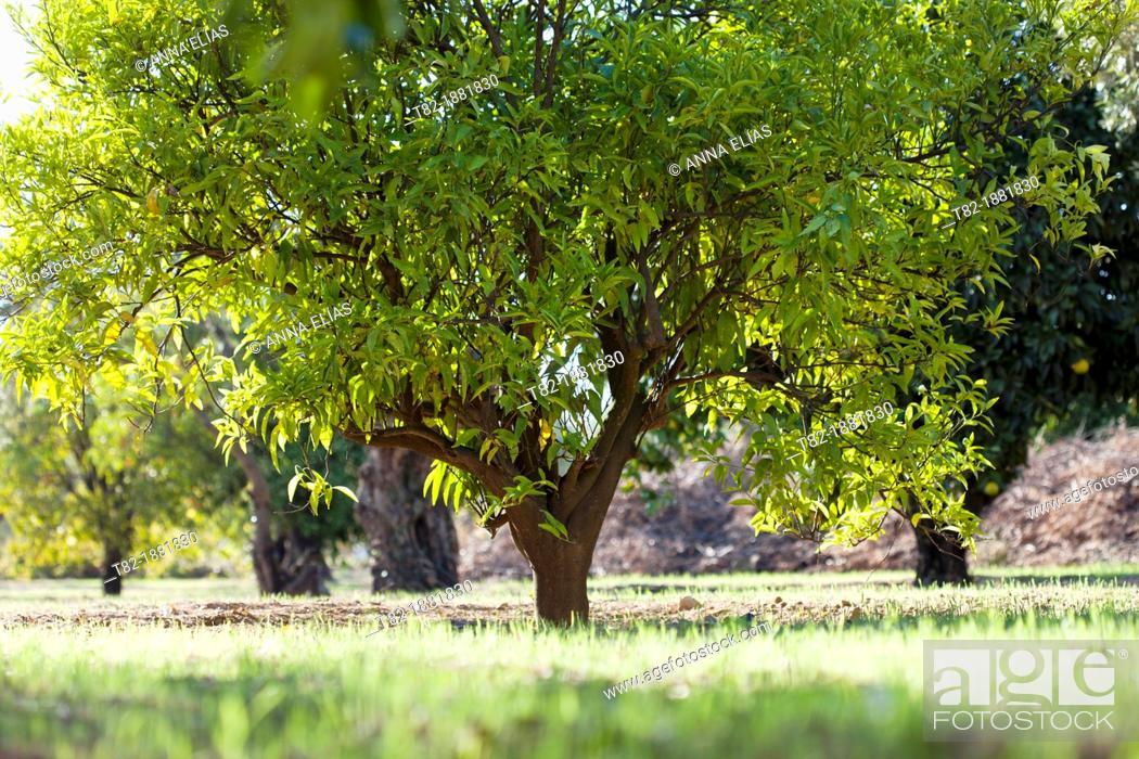 Stock Photo: orange grove, Parque del Alamillo, Seville, Aldalucia, Spain.