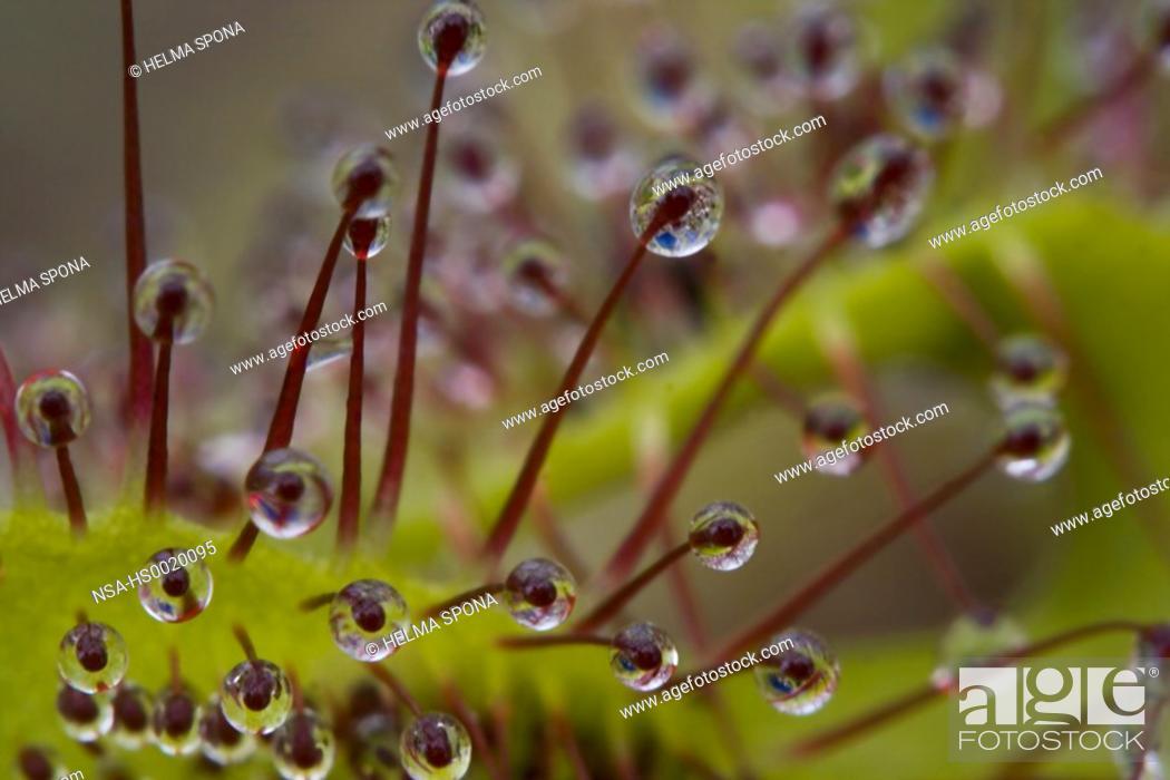 Stock Photo: Drosera Anglica, English sundew.