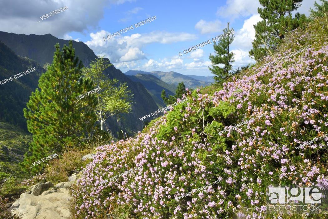 Stock Photo: France, Ariege, Couserans region, Mont Valier trek, Riberot valley, Heather bushes.