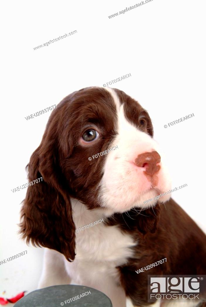 Stock Photo: house pet, springer spaniel, canines, domestic, spaniel, english springer spaniel.