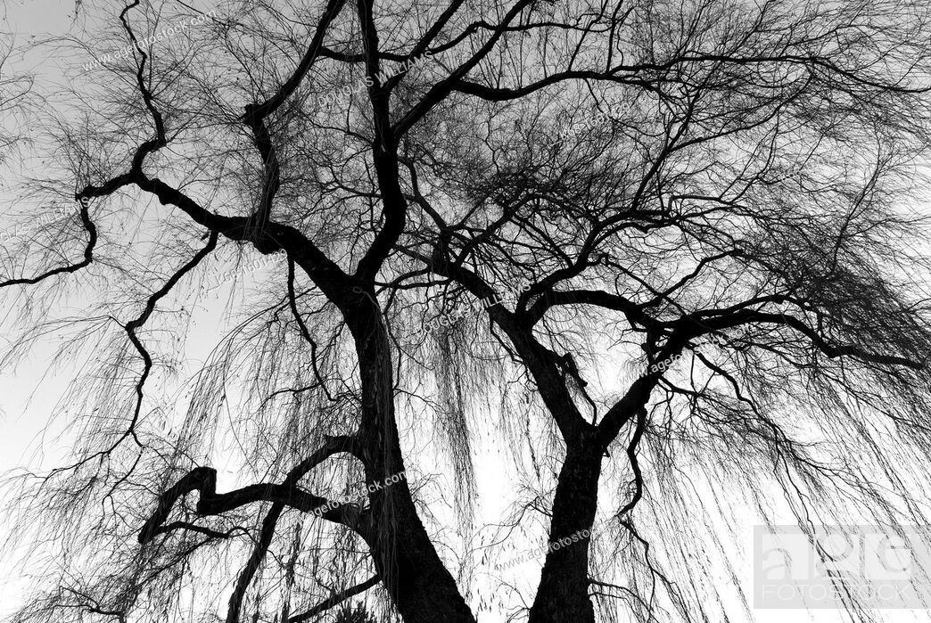 Stock Photo: weeping willow trees in Jericho Park, Vancouver, BC, Canada.