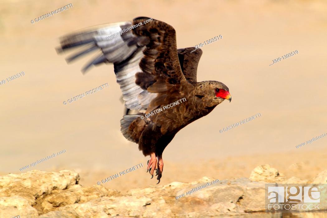 Stock Photo: Bateleur (Terathopius ecaudatus), flying, Mabuasehube, Kgalagadi Transfrontier Park, Kalahari desert, Botswana.