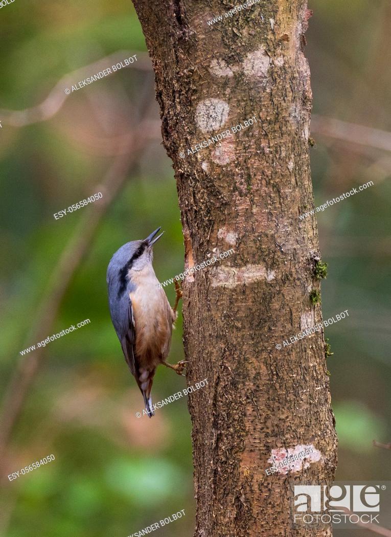 Stock Photo: Eurasian Nuthatch(Sitta europaea) on hazelnut tree in winter, Bialowieza Forest, Poland, Europe.