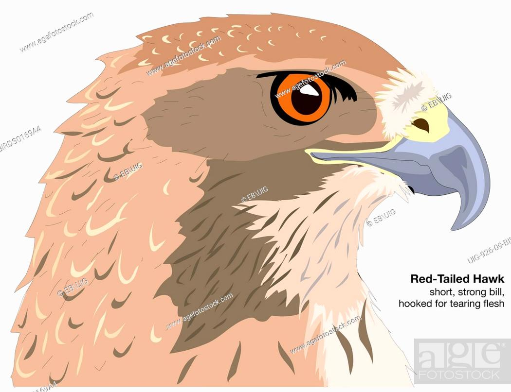 Stock Photo: Head of a red-tailed hawk Buteo jamaicensis.