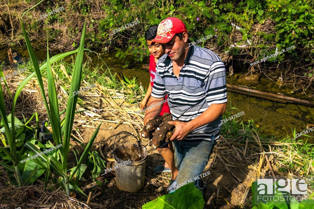 Imagen: Cuban local farmer proudly showing their malanga root harvest in Topes de Collantes, Trinidad, Republic of Cuba, Caribbean, Central America.