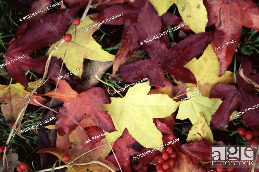 Stock Photo: Sweet gum leaves (Liqiudambar styracifluar). Photographed in the autumn.