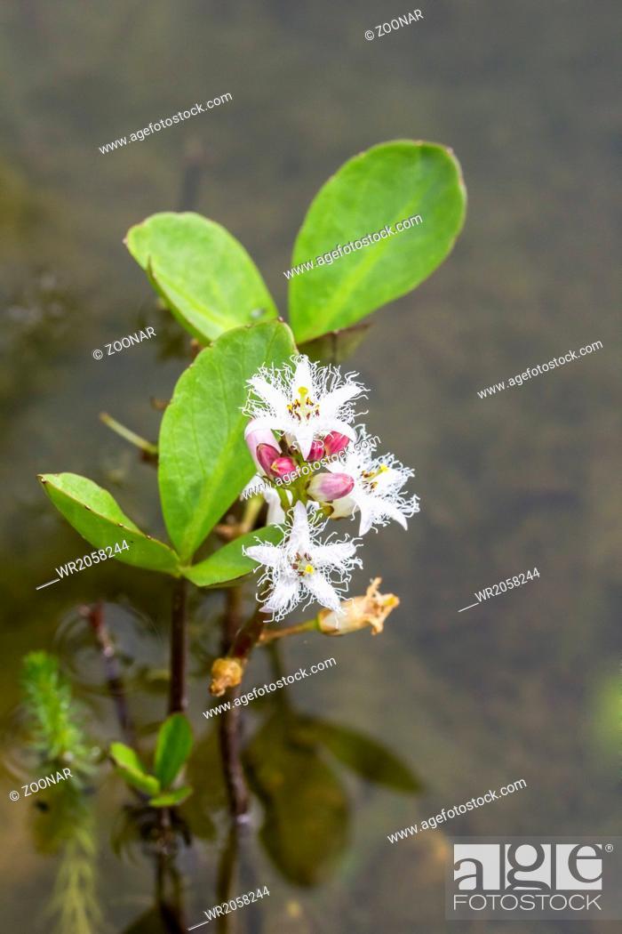 Stock Photo: Menyanthes trifoliata, Marsh Trefoil, Trefoil.