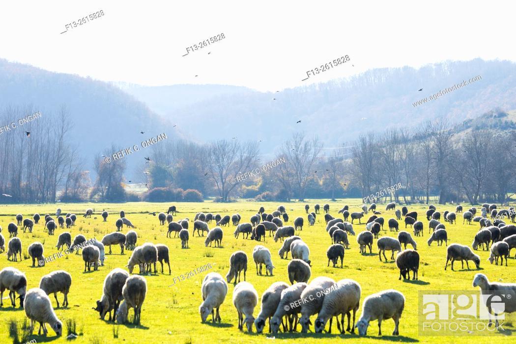 Stock Photo: sheep on grass.