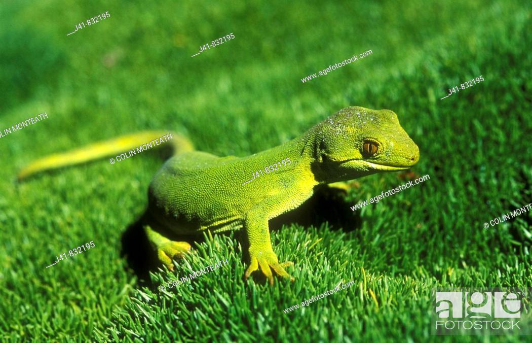 Stock Photo: Common green gecko Naultinus elegans New Zealand.