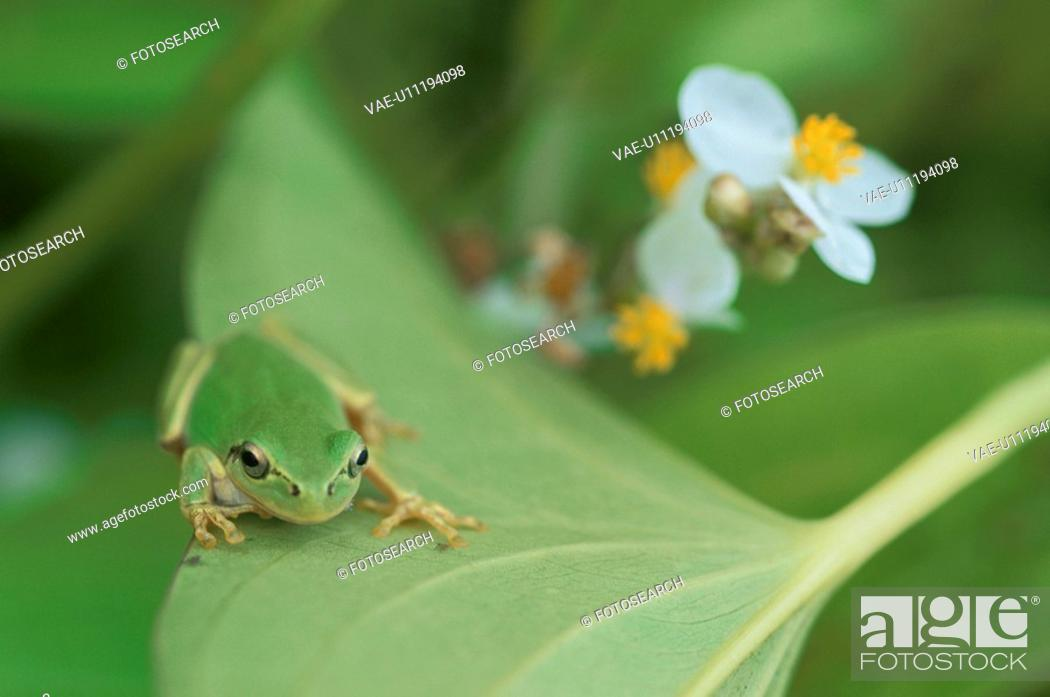 Stock Photo: A Tree Toad.