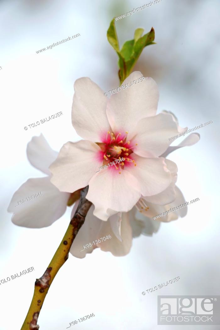 Stock Photo: Almond blossom, Albenya, Randa, Algaida, Mallorca Balearic Islands, Spain.